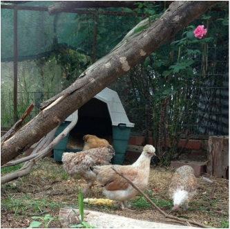 Faverolles and Orpington chickens