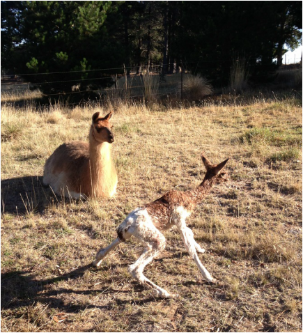 cria stands for the first time